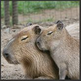 Capybara-Children's Tour